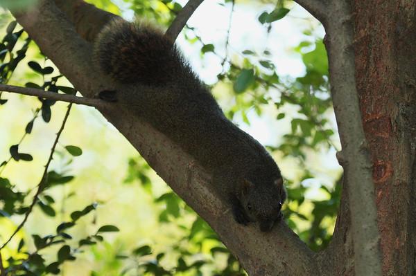 Perny's Long-nosed Squirrel Dremomys pernyi Family Sciuridae Taipei Botanical Garden, Taipei City, Taiwan 10 August 2013