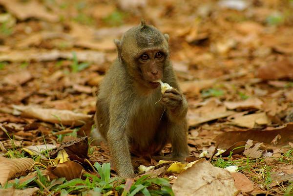 Crab-eating Macaque Macaca fascicularis Family Cercopithecidae Angkor Thom, Siem Reap, Cambodia 16 February 2014