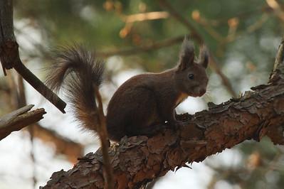 Eurasian Red Squirrel Sciurus vulgaris Family Sciuridae Gakhwa Reservoir, Gakhwa-dong, Gwangju, South Korea 30 March 2014