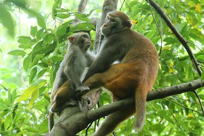 Rhesus Macaque / 普通獼猴 Macaca mulatta Family Cercopithecidae Seven Star Park, Guilin, Guangxi, China 9 August 2014