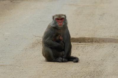 Formosan Rock Macaque (female & infant) Macaca cyclopis Family Cercopithecidae Yushan National Park, Xinyi Township, Chiayi County, Taiwan 13 August 2013