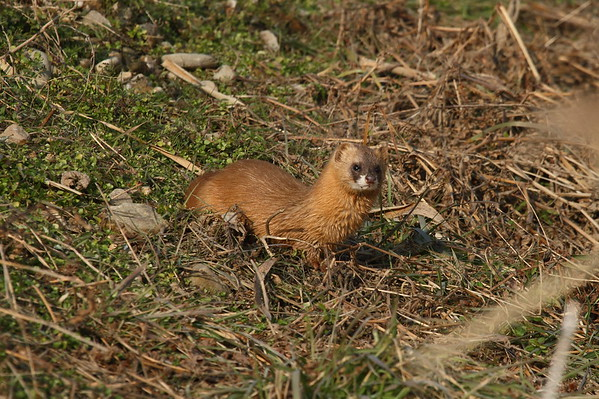 Least Weasel / 쇠족제비 Mustela nivalis mosanensis Family Mustelidae Gangjin Bay, Gangjin-gun, Jeollanam-do, South Korea 4 January 2015
