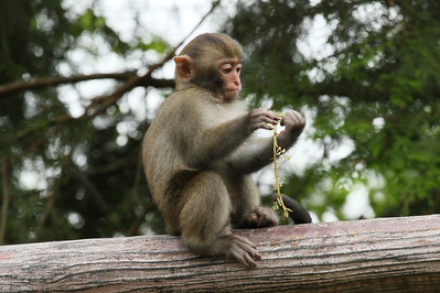 Formosan Rock Macaque (infant) Macaca cyclopis Family Cercopithecidae Yushan National Park, Xinyi Township, Chiayi County, Taiwan 14 August 2013