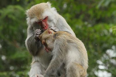 Formosan Rock Macaque (female & juvenile) Macaca cyclopis Family Cercopithecidae Yushan National Park, Xinyi Township, Chiayi County, Taiwan 14 August 2013