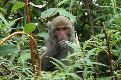 Formosan Rock Macaque (juvenile) Macaca cyclopis Family Cercopithecidae Yushan National Park, Xinyi Township, Chiayi County, Taiwan 14 August 2013
