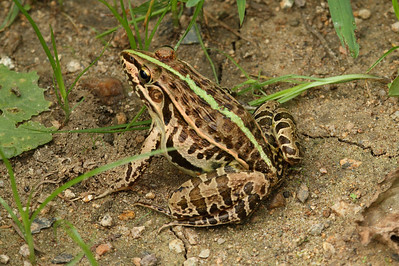 Dark-spotted Frog / 참개구리Pelophylax nigromaculatus Family Ranidae Gwangjuho Lake Ecological Park, Chunghyo-dong, Gwangju, South Korea 13 July 2013