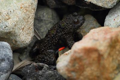 Imienpo Station Frog / 옴개구리 Glandirana emelijanovi Family Ranidae Igidae Park, Busan, South Korea 18 May 2013