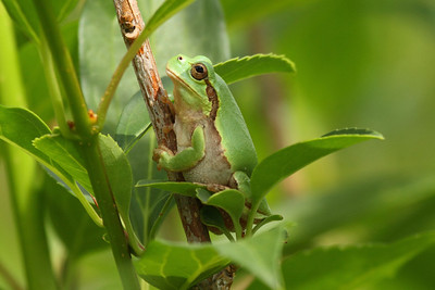 Japanese Tree Frog / 청개구리Hyla japonica Family Hylidae Yeongsangang River, Damyang-gun, Jeollanam-do, South Korea 8 June 2013