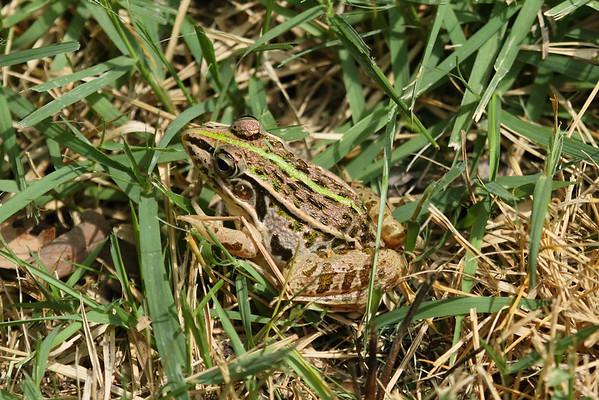 Dark-spotted Frog / 참개구리 Pelophylax nigromaculatus Family Ranidae Jigok-ri, Nam-myeon, Damyang-gun, Jeollanam-do, South Korea 14 June 2014