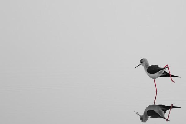 Black-winged Stilt, Aveiro/Portugal