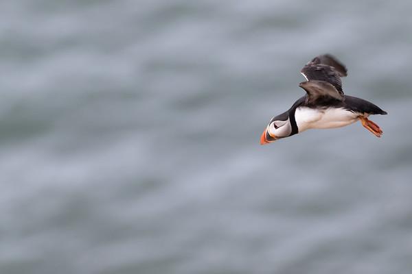 Atlantic Puffin, Bempton Cliffs/England