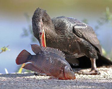 anhinga with dinner in November, Everglades National Park, FL
