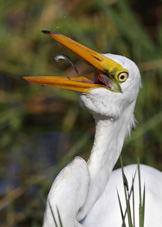great egret with small catch in November, Everglades National Park, FL