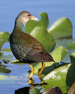 purple gallinule in November, Everglades National Park, FL