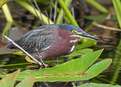 green heron in November, Everglades National Park, FL