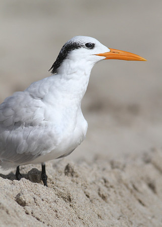 royal tern, Miami Beach, FL in November