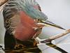 green heron in November, Everglades National Park, FL