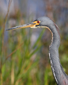 tricolored heron in November, Everglades National Park, FL