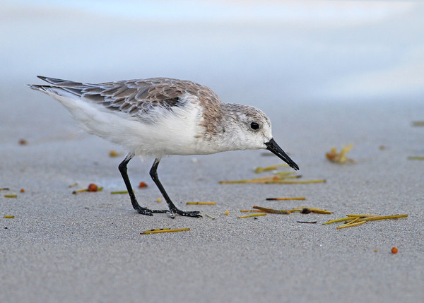 sanderling, Miami Beach, FL in November
