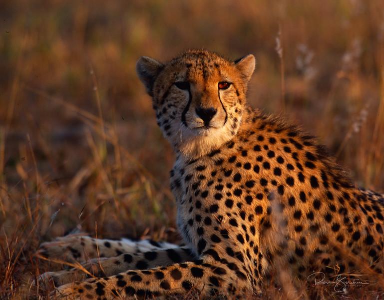 Cheetah, Mala Mala, SA