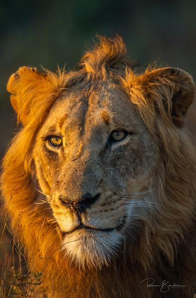 African lion, Pantera leo