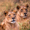 Female lions on Alert