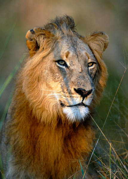 Young male lion in Mala Mala, South Africa