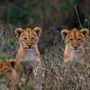 Lion cubs, Kenya