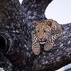 Young leopard in tree, SA