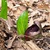 Skunk Cabbage, Symplocarpus foetidus