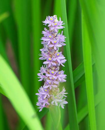 Pickerelweed, Pontederia cordata