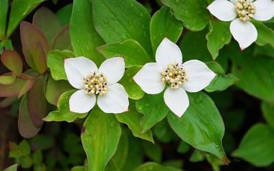 Bunchberry Dogwood, Cornus canadensis