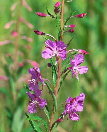 Fireweed, Chamaenerion angustifolium