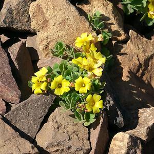 Chilean Yellow-Sorrel, Oxalis valdiviensis