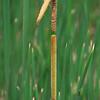 Narrowleaf Cattail, Typha angustifolia