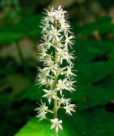 Heartleaf Foamflower, Tiarella cordifolia