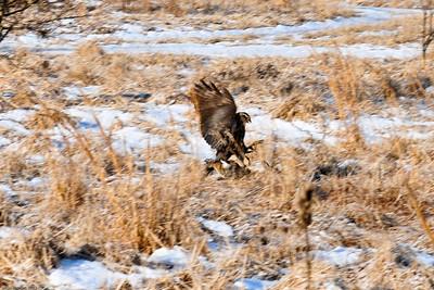 Falconry (Rabbit Hunting)