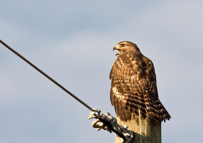 red sholdered hawk