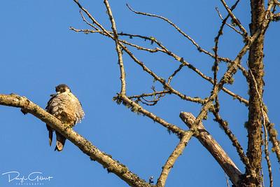Juvenile Peregrine Falcon Keeping Warm