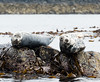 Atlantic Grey Seals