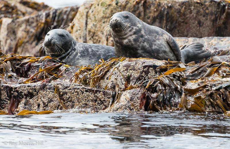 Atlantic Grey Seals