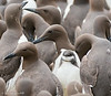 Guillemots with chick