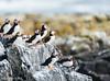 Atlantic Puffins on Staple Island