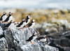 Atlantic Puffins on Staple Island