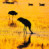 Sandhill Cranes, Sunset<br /> Bosque del Apache, New Mexcio, USA
