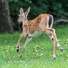 Fawns Aug 2018-4331