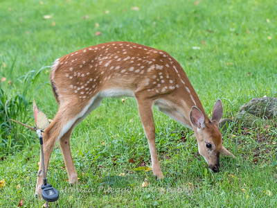 Fawns Aug 2018-4317