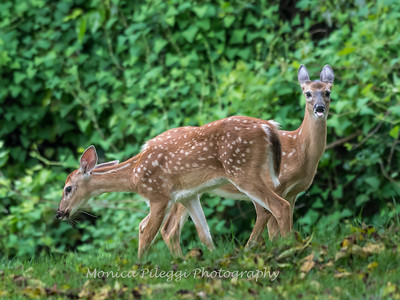 Fawns Aug 2018-4337