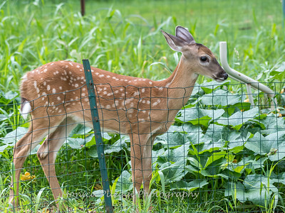 Fawns Aug 2018-4321