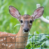 Fawns Aug 2018-4323
